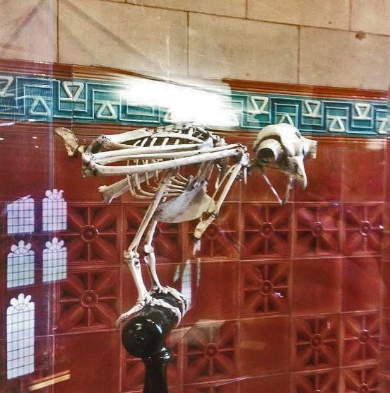 LIVERPOOL. Victoria Gallery & Museum Owl Skeleton