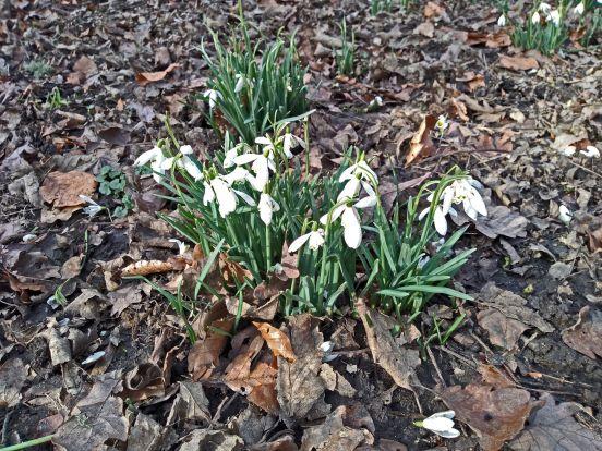 14/02/19  CHORLEY. Astley Hall Snowdrops.