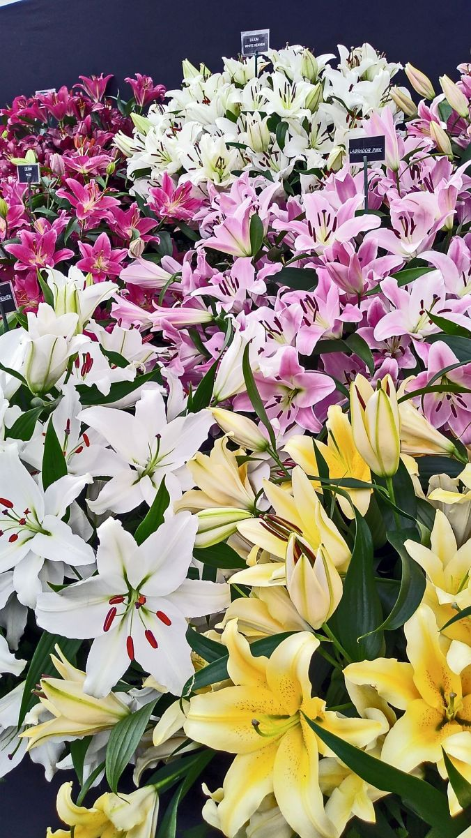 28/07/19  CHORLEY FLOWER SHOW. Lilly Display.